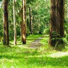 Forest, Dandenong Ranges National Park, Yarra Valley